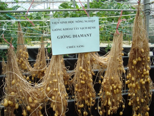 Картофель выращивание методом гидропоники 85