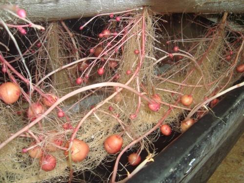 Картофель выращивание методом гидропоники 50