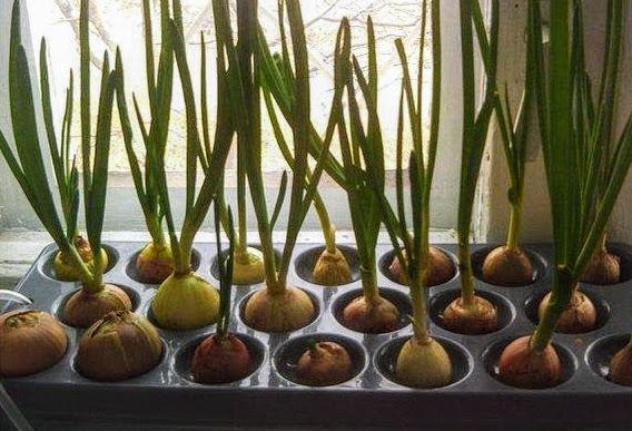 Выращивание лука в гидропонике из семян марихуана вылечивает