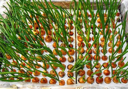 Гидропоника и семена лука отучить курить коноплю