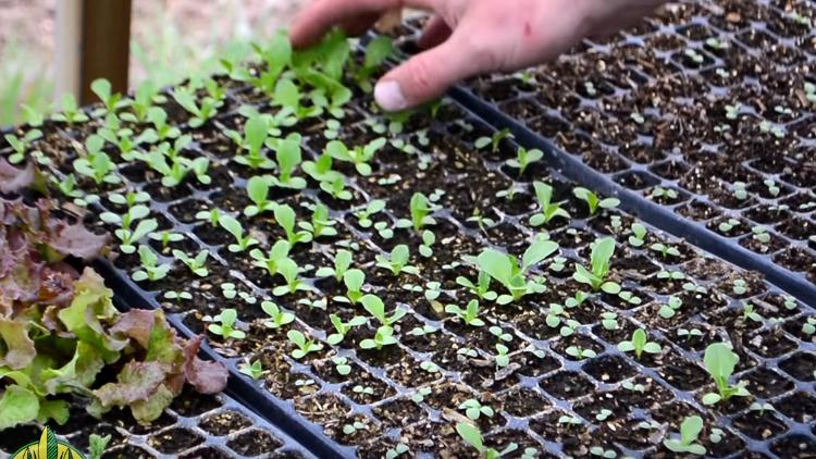 Как высаживать семена для гидропоники конопля в каком месяце растет
